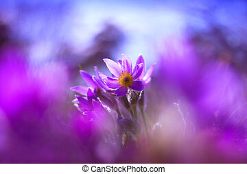 pasque flover - Purple pasque flower blooming in the meadow