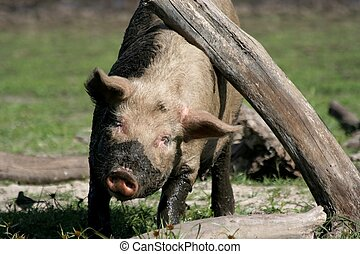 Itchy Pig - Dirty and muddy pig scratching itself on a tree...