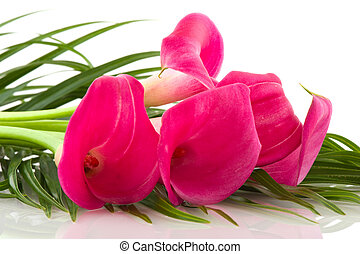 Calla - Bouquet pink Calla flowers on white background