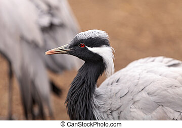 Demoiselle crane Grus virgo preens its gray and white...