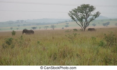 Elephants in plains, Queen Elizabeth National Park, Uganda -...