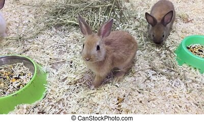 rabbit. Small rabbits eats grain eat from the trough, the...