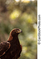 Golden eagle Aquila chrysaetos with bright eyes and a sharp...