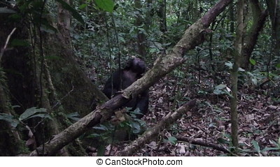 Chimp in Kibale National Forest - Wild chimpanzee in Kibale...