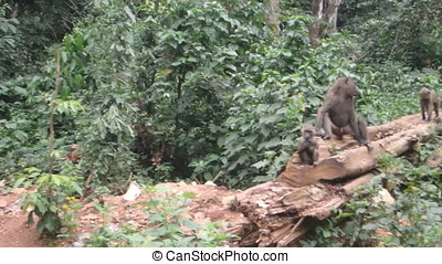 Baboon family on log