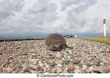 Dead hedgehog on a roadside - Dead hedgehog lying on a...