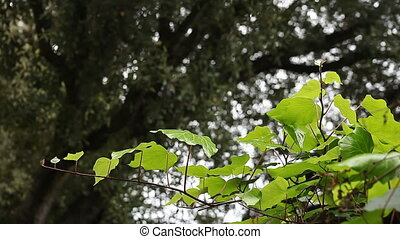 ivy with an oak tree background - ivy grows on a fence...