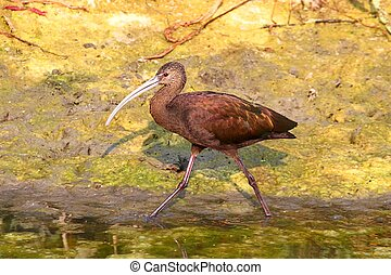 White-faced Ibis (Plegadis chihi) hunting in Northern...