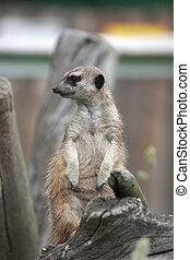 Suricata - Curious animal - meerkat or suricate Suricata...