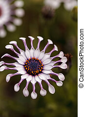 Osteospermum Whirligig daisy with white petals and purple...