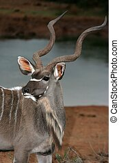 Kudu Bull Portrait - Beautiful kudu bull antelope with...