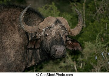 Cape Buffalo portrait - Cape buffalo from Africa with large...