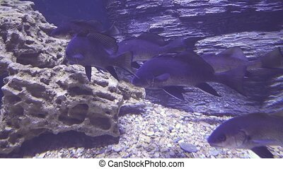 Black drum in saltwater aquarium stock footage video - Black...