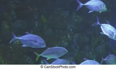 Thunnus in saltwater aquarium stock footage video