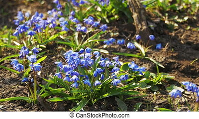 First Spring Flowers Blue Snowdrops in the Woods - First...