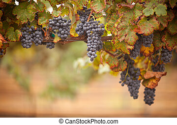 Lush, Ripe Wine Grapes on the Vine Ready for Harvest