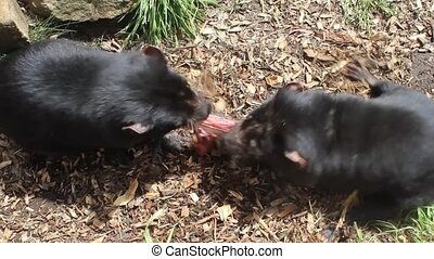 Two Tasmanian devils eating in Tasmanian Devil Park....