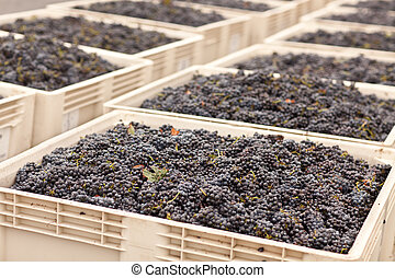 Harvested Red Wine Grapes in Crates - Lush Harvested Red...