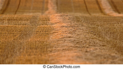 Wheat Field swathe Saskatchewan Canada Harvest time