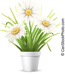 Chamomiles and grass in flowerpot