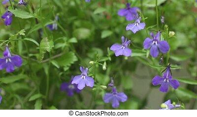 Flower Blue Lobelia - Flower garden Blue Lobelia springtime