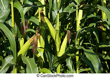 Growing corn - Ears of corn growing on stalks