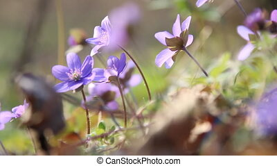 Spring flowers in spring forest