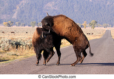 Wild Bisons - Wild bisons fighting in the middle of road