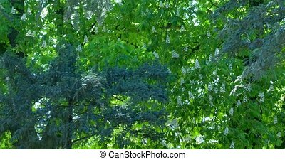 Branches of chestnut and trees are swaying in the wind