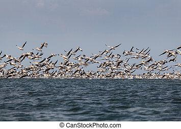 Flock of migratory birds - flock of pink pelicans fly over...