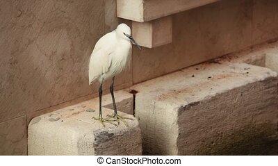 Little heron, wader, egret on urban city background - Wader...
