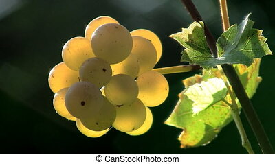 White grapes - Closeup of white grapes with shallow depth of...