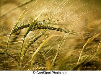 Ears of ripe barley growing on a farm field
