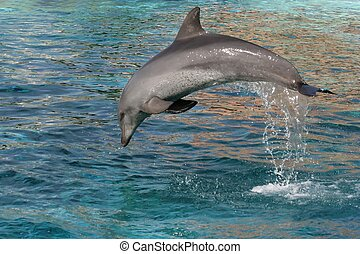 Dolphin Jump - Bottlenose dolphin leaping out of the blue...