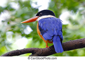 Black-capped Kingfisher Halcyon pileata Birds of Thailand