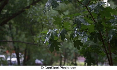 Green maple branches under the falling rain