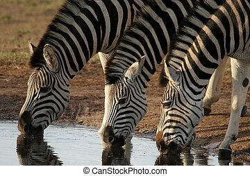 Zebras drinking water - Three zebras quenching their thirst...