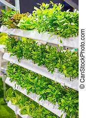 The Organic hydroponic vegetable garden