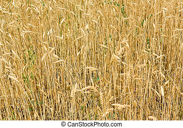 Wheat - Fragment of a field with wheat ears