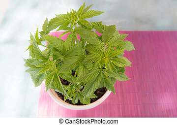 Pot of Cannabis plant - Closeup of Cannabis leaves under a...