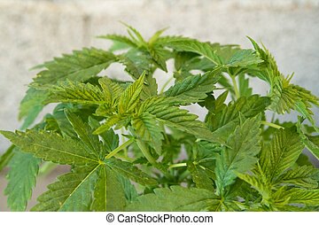 Closeup of Cannabis leaves