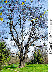 Big old birch tree with branches, outdoor park