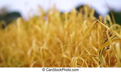 Wheat Field Caressed by Wind with trees on Background HD...