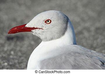 Grey Gull Portrait