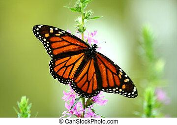Feeding monarch butterfly - Monarch butterfly feeding on a...