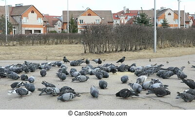 Flock of pigeons and sparrows eating millet in urban park in...