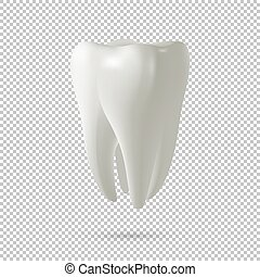 Realistic vector tooth icon isolated on transparent...