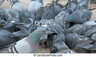 Flock of pigeons eating millet in urban park in spring