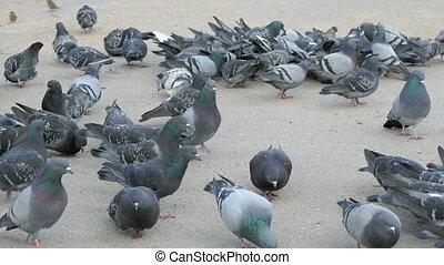 Flock of pigeons eating millet in urban park in spring