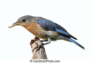Isolated Female Bluebird On A Perch With A White Background